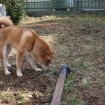 柴犬さくら 4日目は庭に出してみることに!