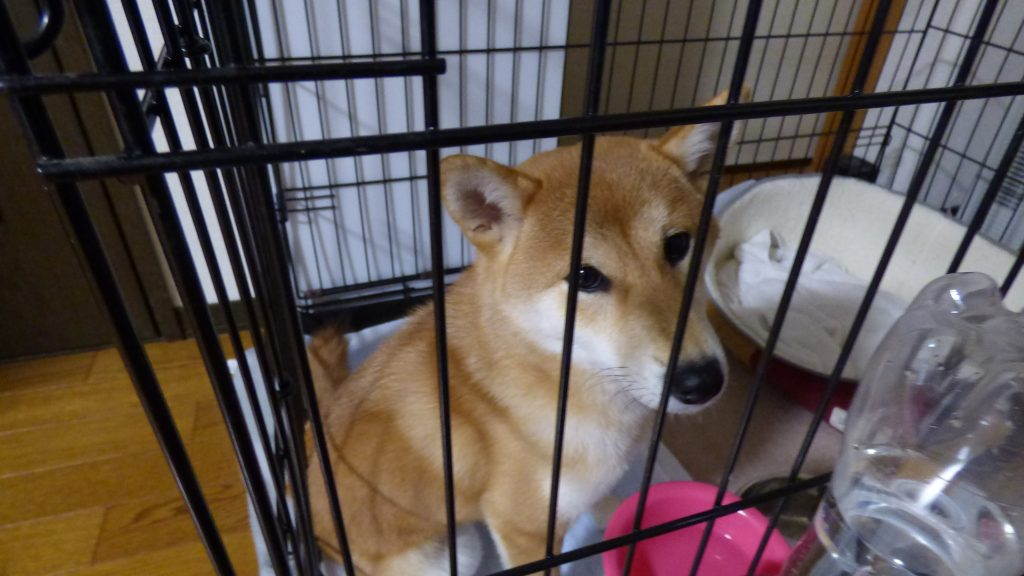 柴犬さくら、ケージ生活