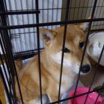 柴犬さくら、我が家2日目 ~噛み癖がなおらず・・・