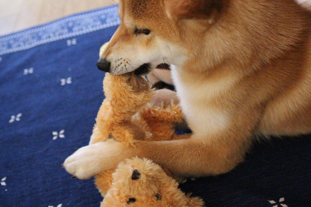 柴犬さくら・クマを狩る