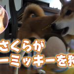 柴犬さくら、ベビーミッキーを狩る!SHIBA INU SAKURA
