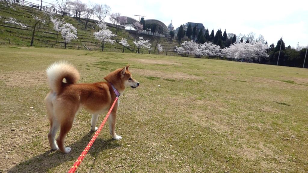 柴犬さくらと桜
